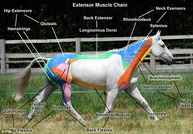 Colorful Horse Muscle Anatomy Gallery - Anatomy And Physiology ...
