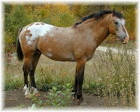 The Yellow Hornet, foundation curly horse stallion